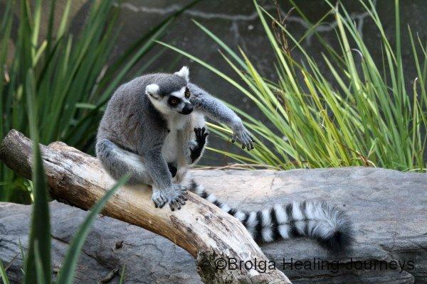 Ring-Tailed Lemur, Adelaide Zoo