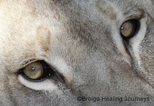 The eyes of a Lioness, Adelaide Zoo