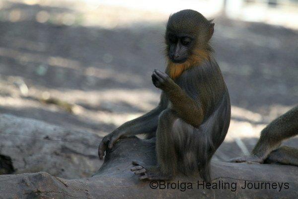 Baby Baboon, Adelaide Zoo