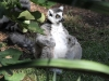 Ring-Tailed Lemur, Adelaide Zoo. Not sure if this is Cheech or Chong