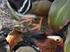 Two Mandarin Ducks, Adelaide Zoo