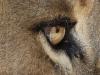 Lion's eye, Adelaide Zoo