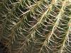 Giant Cactus, Adeliade Zoo