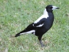Male Magpie, free to come and go at Adelaide Zoo