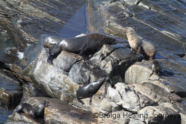 New Zealand Fur Seals near Admirals Arch, Flinders Chase National Park.