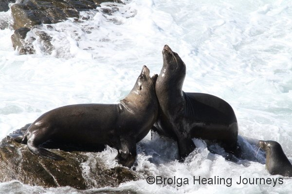 A couple of male New Zealand Fur Seals jostling at Admirals Arch, Flinders Chase National Park