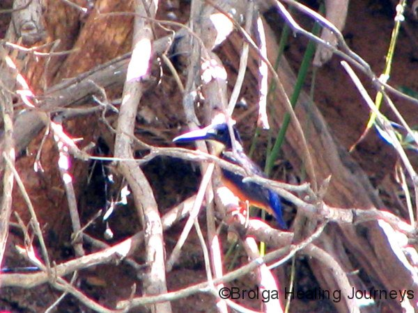 A tiny Azure Kingfisher hides in the roots along Annie Creek, Mornington Wildlife Sanctuary, the Kimberley WA.  For a small bird, it has an enormous beak!