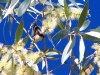 Banded Honeyeater, in a flowering Paperbark, Cajeput Pool, Mornington Wildlife Santuary, the Kimberley.