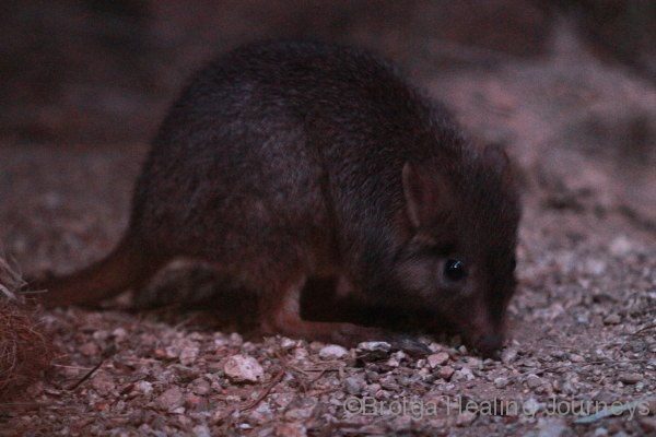 Brush Tailed Bettong, in the Nocturnal House of the Alice Springs Desert Park