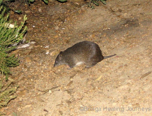 Southern Brown Bandicoot, or Quenda, at night in our campsite in Waychinicup Ntl Pk, WA