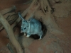 Greater Bilby emerges from burrow, Nocturnal House Alice Springs Desert Park