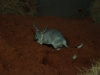 A young male Greater Bilby develops his burrowing skills