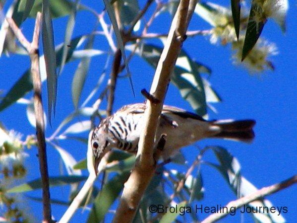 Bar-breasted Honeyeater, Cajeput Pool, Mornington Wildlife Sanctuary, the Kimberley