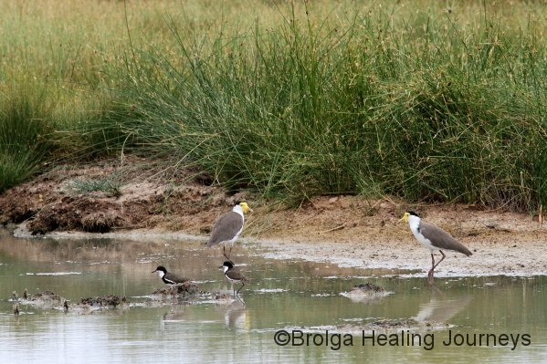 Masked Lapwings (background), Red Kneed Doterrels (foreground).