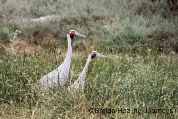 Brolgas in the long grass at Mungerannie wetlands.