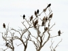 Black Kites congregate in a tree overlooking the wetlands.