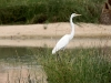 Great Egret at Mungerannie wetlands.