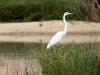 Great Egret at Mungerannie wetlands.