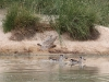 Pink Eared Ducks at Mungerannie
