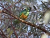 Australian Ringneck parrot at Leigh Creek