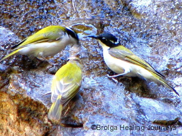 Three Black-Chinned Honeyeaters drink from water seeping down the cliff-face at Galvans Gorge, the Kimberley