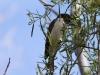 Male Black Honeyeater, Alice Springs Desert Park