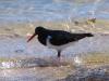 Pied Oystercatcher, Cape Range National Park
