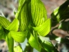 Green Birdflower