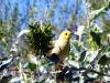 White-Plumed Honeyeater & Green Birdflower