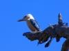 Blue-Winged Kookaburra, Carawine Gorge