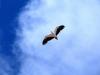 White-Bellied Sea Eagle, Carawine Gorge