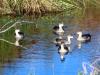 Grey Teal Ducks on Coolbro Creek