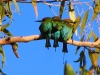 Three Rainbow Bee-Eaters huddle together in the cool  morning air at Ragged Hills Gold Mine