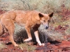 Resident Dingo at Dales Gorge.