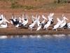 Pelicans, Doolena Gorge