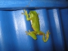 It ain't easy being green on a blue background.  Green Tree Frog in the shower block at BBO