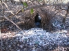 Bower (love-nest!) of the Great Bowerbird, next to our campsite at BBO
