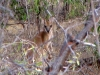 Glimpse of the elusive Agile Wallaby, seen at Broome Bird Observatory