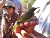 Brown Honeyeater being banded at BBO