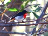Mistletoe Bird holds his breakfast – the fruit of the Mistletoe.