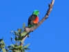 Red Winged Parrot at Goldwire rest stop