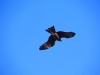 Black Kite above El Questro