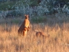 Massive male Red Kangaroo, late afternoon, Cape Keraudren
