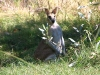 Male Agile Wallaby at Mornington