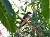 The gorgeous Northern Fantail