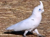 A Little Corella strides past our campsite at Windjana Gorge