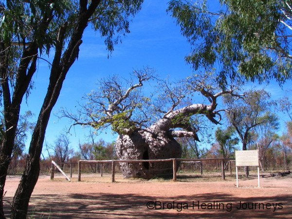 The Prison Boab tree at Derby.  A magnificent old tree estimated at 1500 years old.