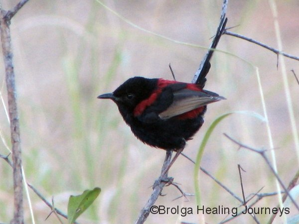 The male Red Backed Fairy Wren in his full breeding colours.