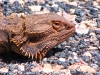 Central Bearded Dragon on road, Eastern MacDonnell Ranges