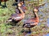 Wandering Whistling Ducks, Marglu Billabong